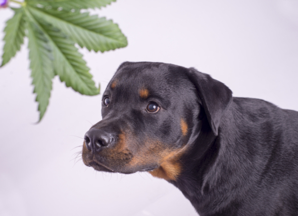 Your Dog Ate your Weed. Now What?